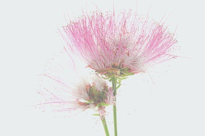 flor-albizia03
